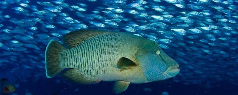 The marbled grouper