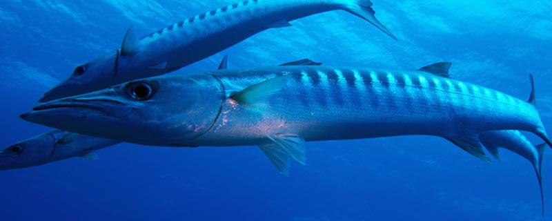 Le grand barracuda