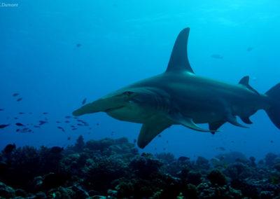 Requin marteau vu en plongée à Rangiroa avec TOPDIVE -photo-C.Dumont