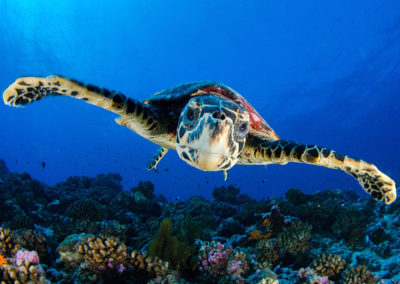 Tortue -Topdive - T.Kotouc