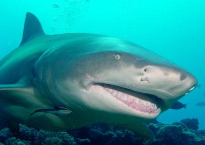 Requin citron de Polynésie française