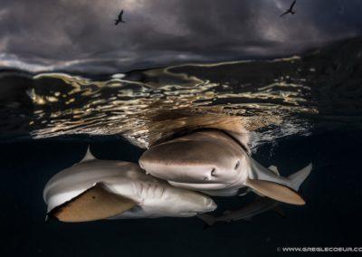 Requins pointes noires - greglecoeur