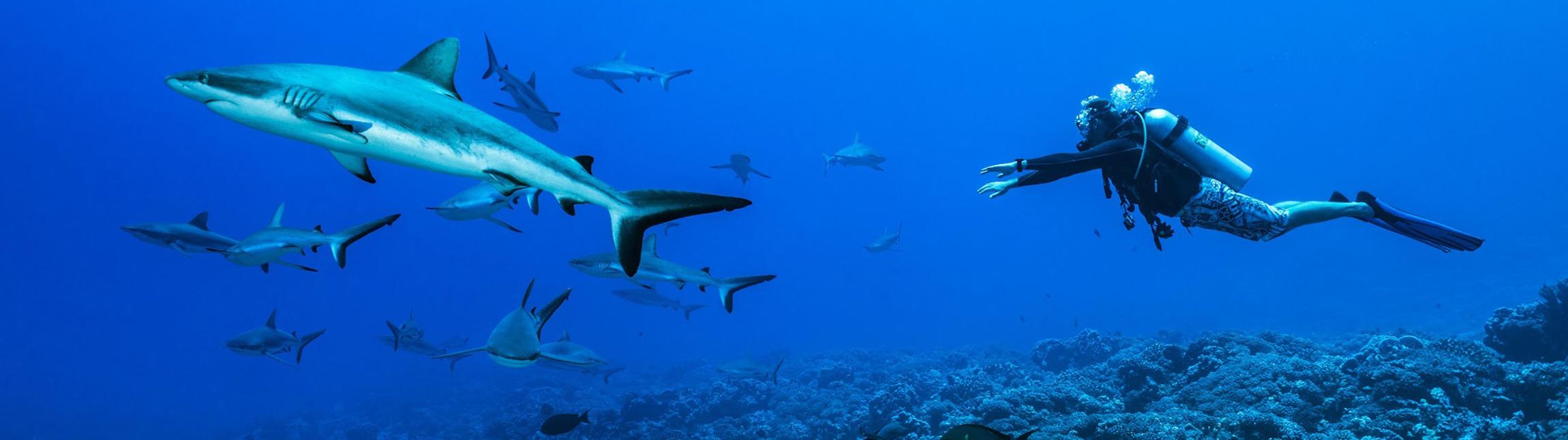 Plongée découverte des requins avec Topdive