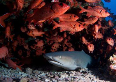 Requin à Pointe blanche du Lagon - Mao Mamaru © Vincent TRUCHET