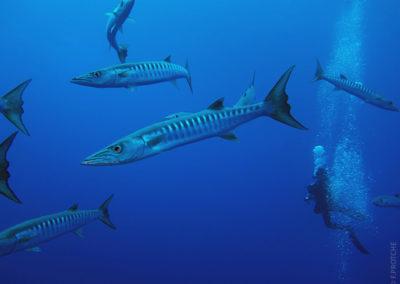 Plongez avec le grand Barracuda et Topdive Tetiaroa