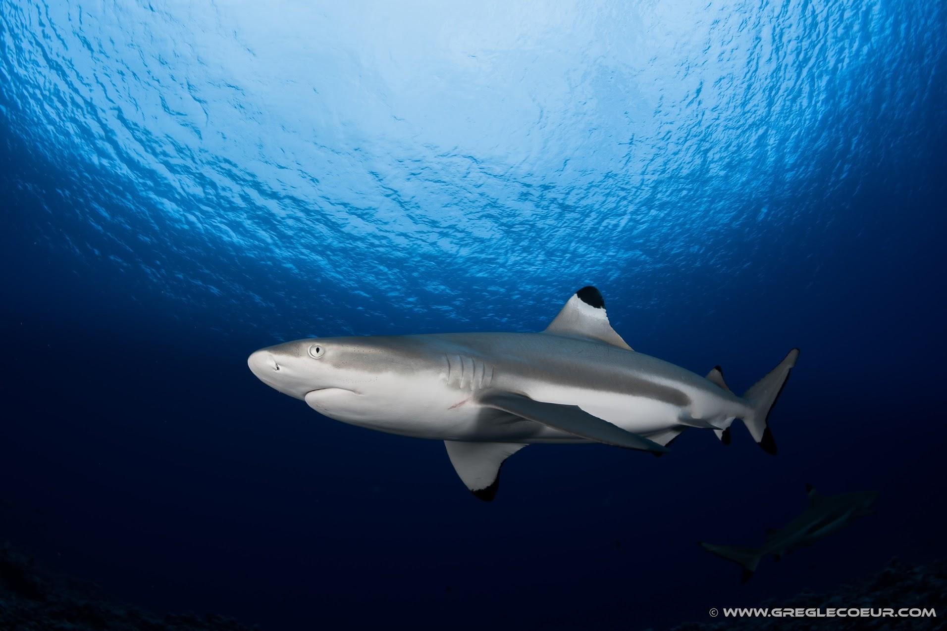 Requin pointe noire, Polynésie française © greglecoeur