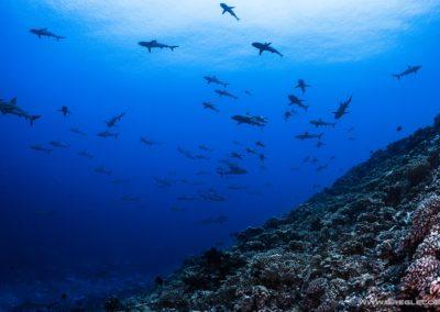 Topdive - Requins à Rangiroa