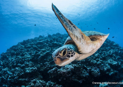 Tortue plongée à Moorea avec TOPDIVE©greglecoeur