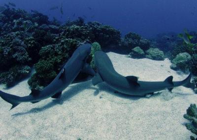 Requins dormeurs - Topdive
