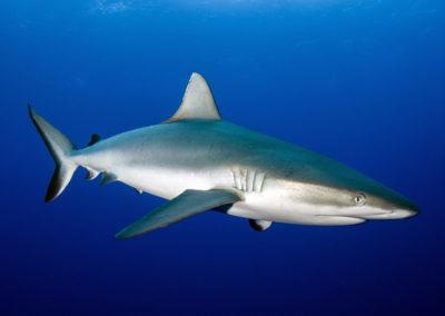 Tetiaroa - Requin Gris - Topdive - Photo T-Kotouc