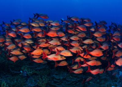 Fakarava Sud Banc de poissons rouges - Topdive