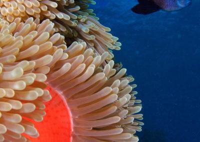 Aquarium de Tahiti, Anémone et poisson - Topdive