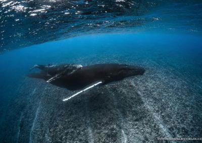 baleine-à-bosse-et-son-jeune