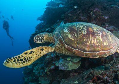 La tortue imbriquée - Topdive