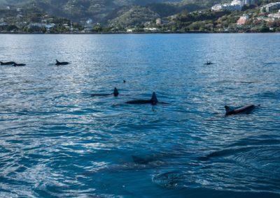 Dauphins à long bec de Polynésie
