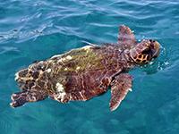Tortue à écaille à Tahiti avec Topdive