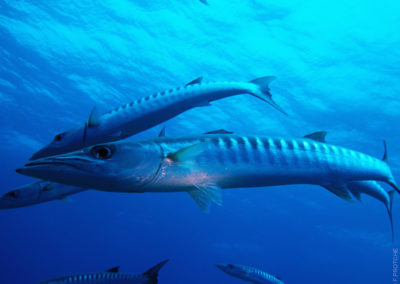 Le Grand Barracuda à Fakarava Nord - Plongée avec TOPDIVE en Polynésie - Photo F.PROTCHE