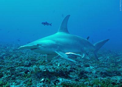 Requin marteau - Topdive