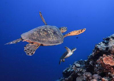 La tortue imbriquée -Topdive © Tobias FRIEDRICH