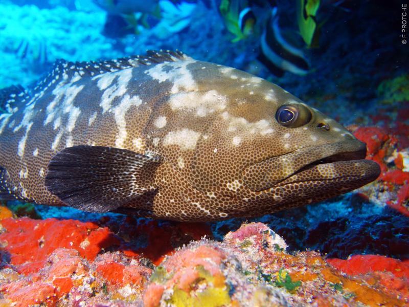 La loche Marbrée de Polynésie - Topdive