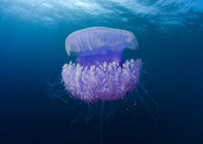 Méduse - Topdive Polynésie