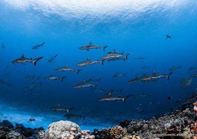 Mur de requins à Fakarava Sud
