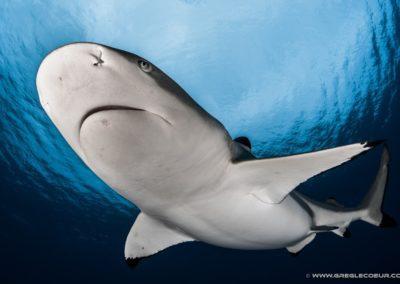 Requin pointe noire -  Moorea