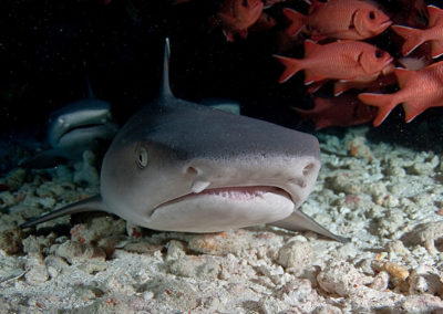 Requin à pointe blanche