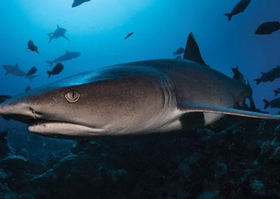 Requin à ailerons blanc du lagon