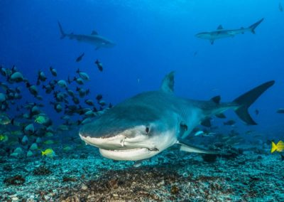 Requin tigre à la Vallée blanche de Tahiti - Topdive © Tobias FRIEDRICH