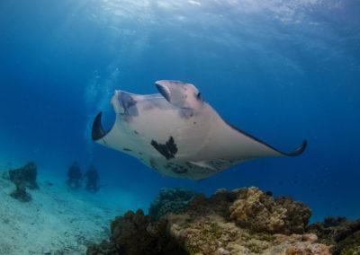 Tikehau - Observation d'une raie manta en plongée avec Topdive