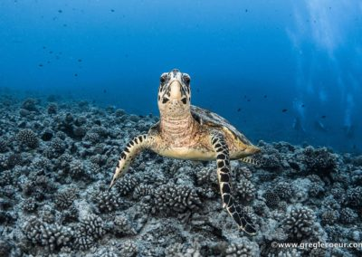 La tortue imbriquée - Topdive ©greglecoeur