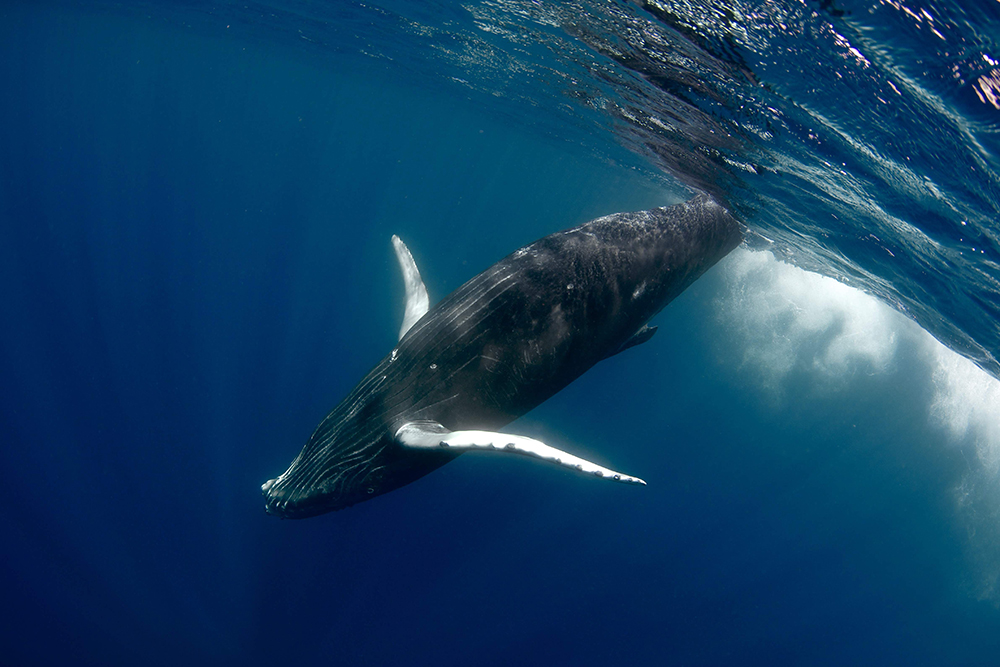 © Frederique Legrand / Topdive. Baleine à Tahiti