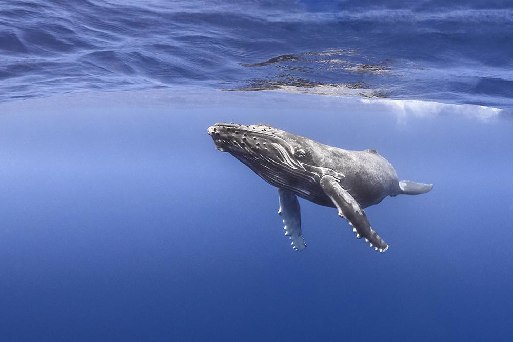 Nager avec les baleines à Tahiti, un privilège unique mais avec certaines règles à respecter