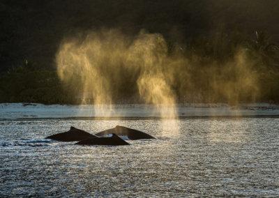 © Greg Lecoeur / Topdive. Baleine à Bosse de Polynésie