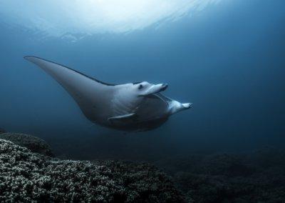 raie-manta-ray-borabora-polynesie-topdive-copyright-ulikunz-3